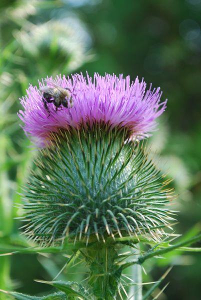 Thistle Buzz on Mackinac Island