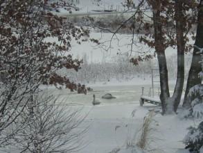swans-in-winter