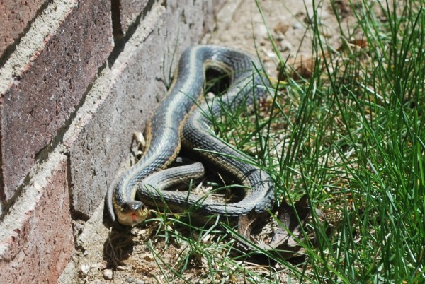 Garter Snake for Mother's Day