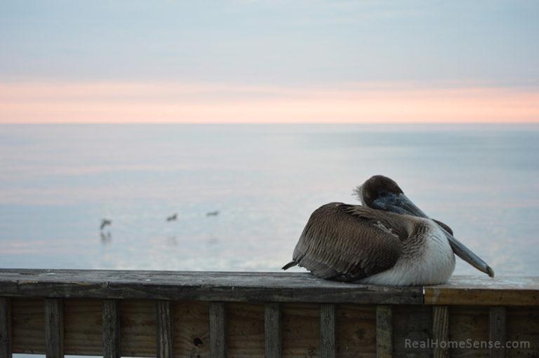 Alabama Gulf State Park Pelican