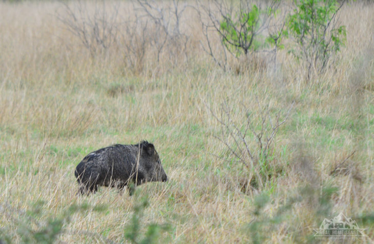 Wild Javelina at King Ranch